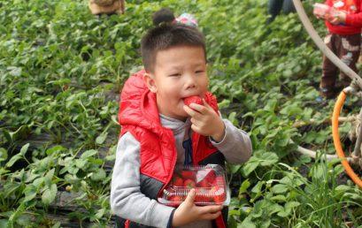 """春意盎然,""""莓""""力无限——北京王府幼儿园草莓采摘活动"""